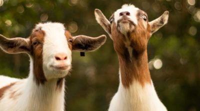 best goats for pets on farm