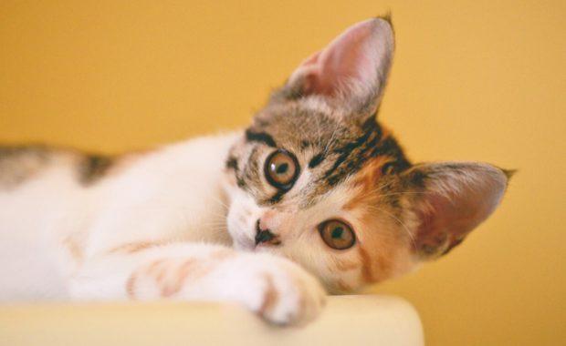 cat resting its head
