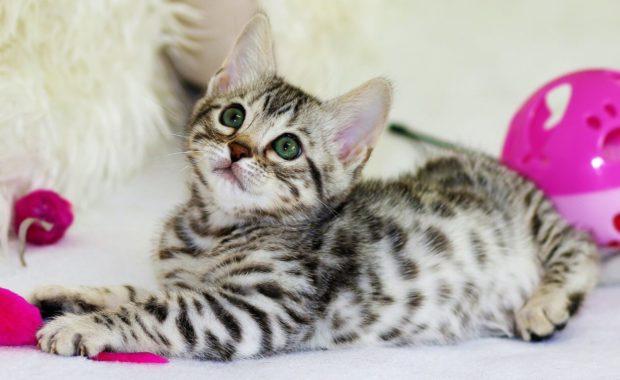 kitten with toys