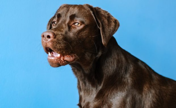 dog posing on blue background
