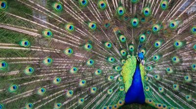 pet peacock feathers