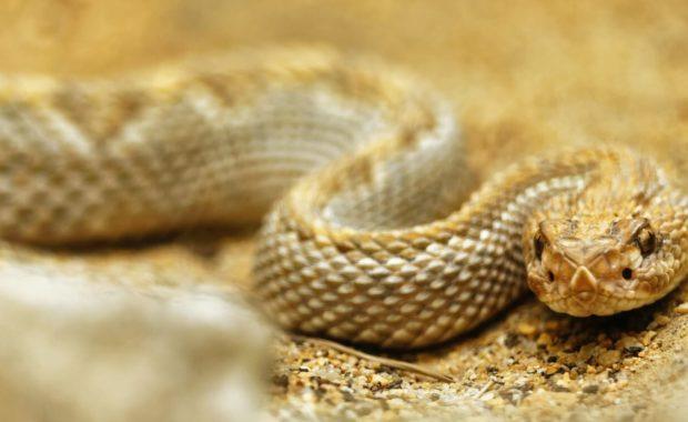 beige colored snake