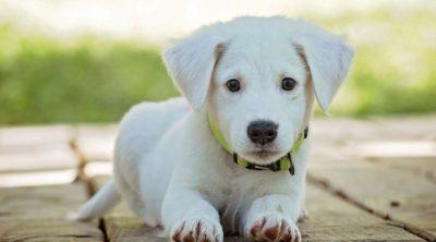 labrador blonde puppy