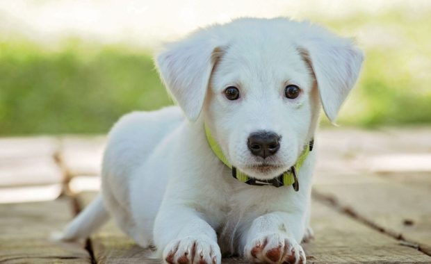 labrador blonde puppy